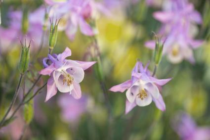 Columbine Flowers in the Field
