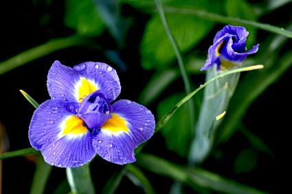 Purple Iris Blooming Outdoors