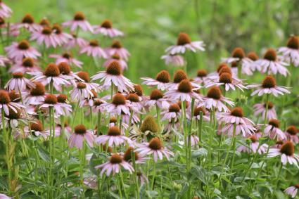 Coneflowers in the field