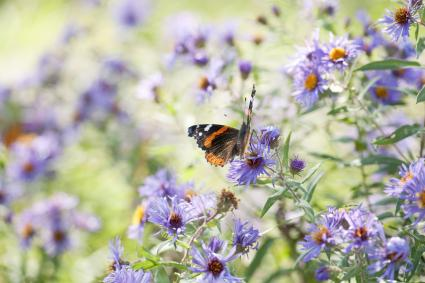Red Admiral Butterfly in aster flowers