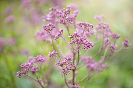 Eupatorium maculatum flowers