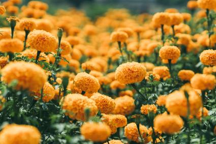 Orange Marigold Flowers