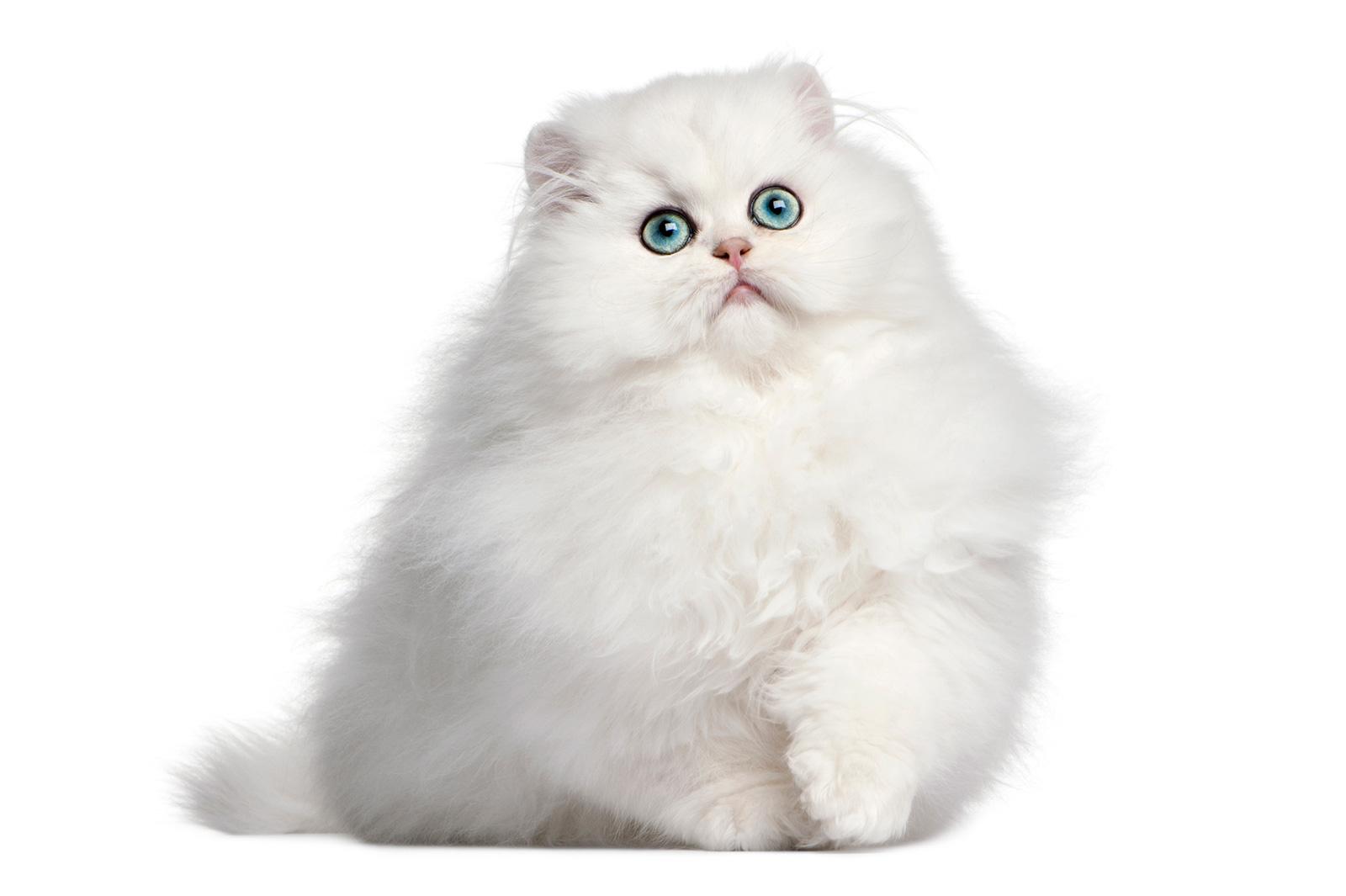gato-persa-blanco.jpg