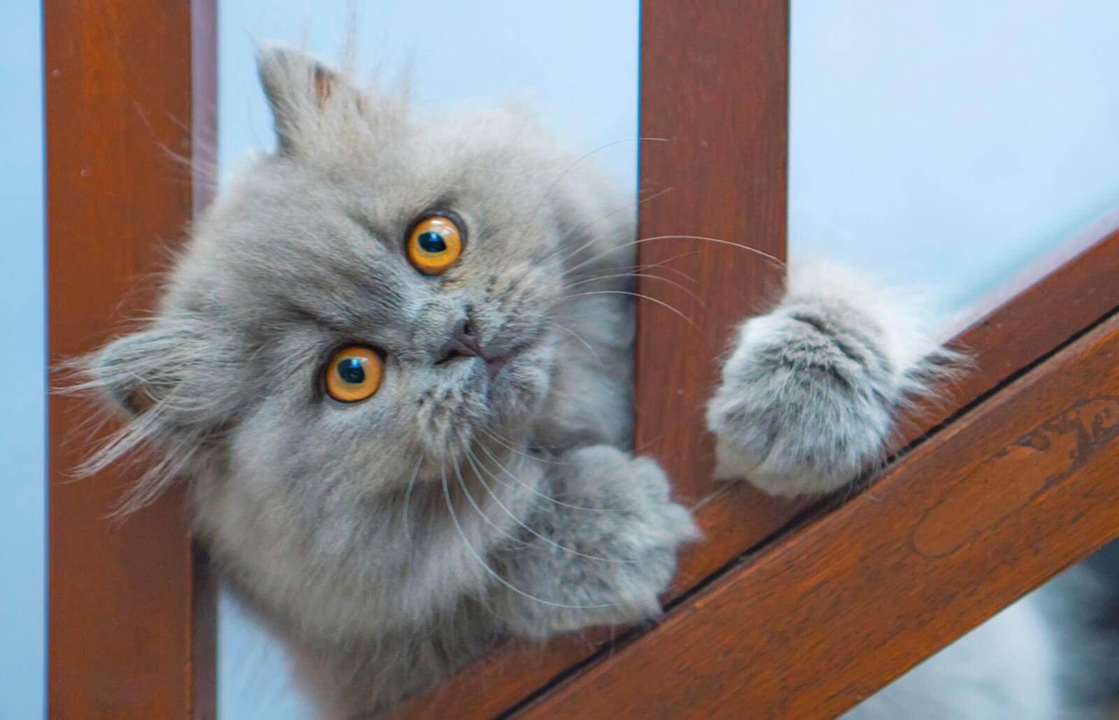 Características Y Cuidados Del Gato Persa Lovetoknow
