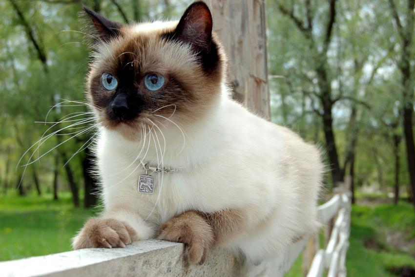https://cf.ltkcdn.net/gatos/images/slide/242309-850x567-gato-siames-cabeza-de-manzana.jpg