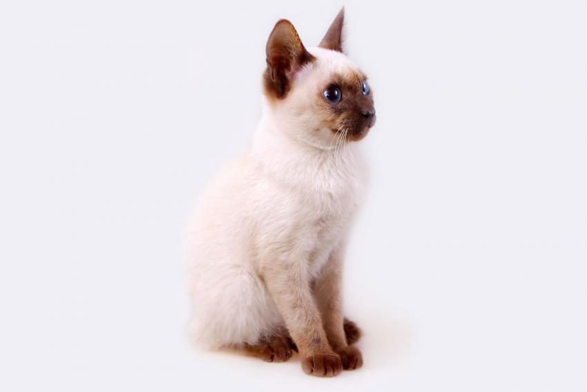 https://cf.ltkcdn.net/gatos/images/slide/242314-850x567-gatito-siames-punto-de-chocolate.jpg