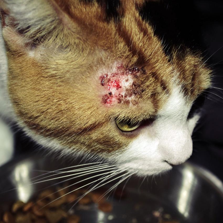 https://cf.ltkcdn.net/gatos/images/slide/242370-850x850-gato-con-alergia.jpg