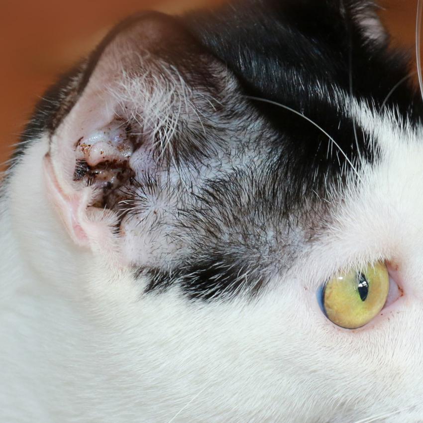 https://cf.ltkcdn.net/gatos/images/slide/242371-850x850-gato-con-acaros-del-oido.jpg