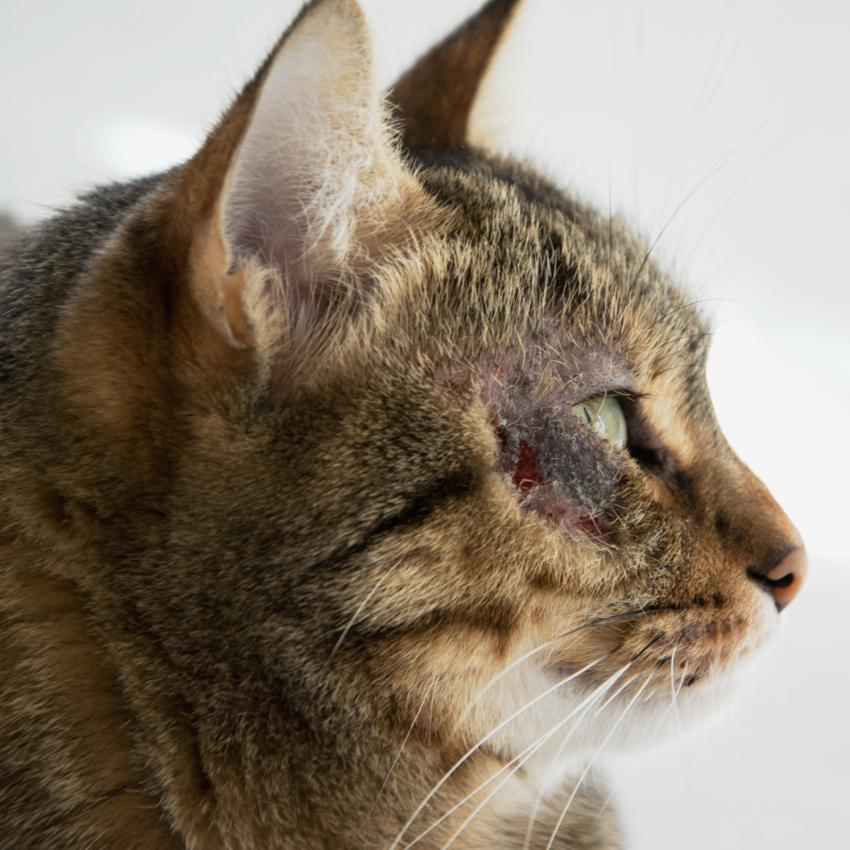 https://cf.ltkcdn.net/gatos/images/slide/242375-850x850-Dermatitis-Miliar-Felina.jpg