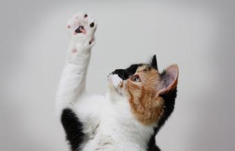 Gato con la pata en alto