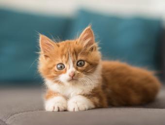 gatito naranja acostado