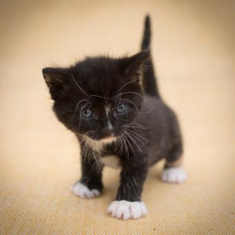 gatito negro con botas blancas