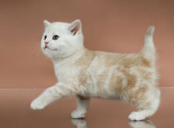 gatito marrón caminando