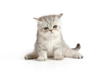 gatito blanco y gris esponjoso