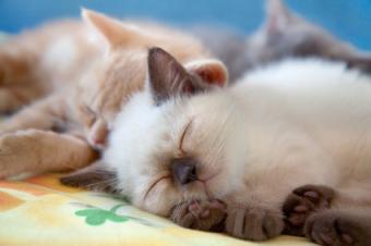 gatito siamés durmiendo