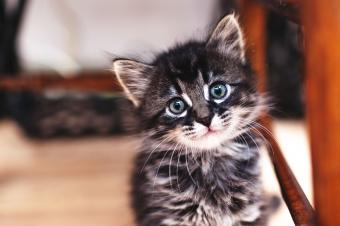 gatito rayado gris
