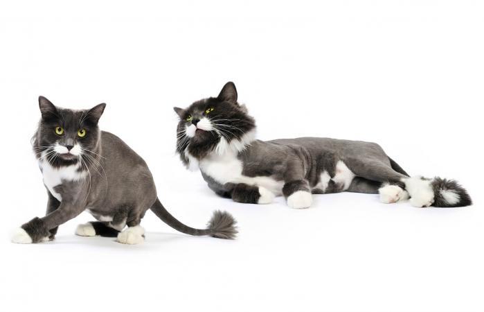 Gatos afeitados