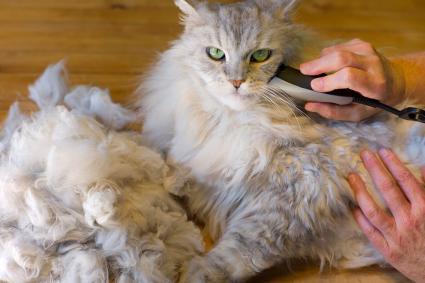 Hombre afeitando a un gato