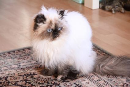 Gato persa anciano