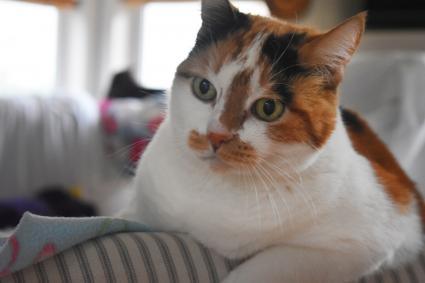 Gato Calico anciano