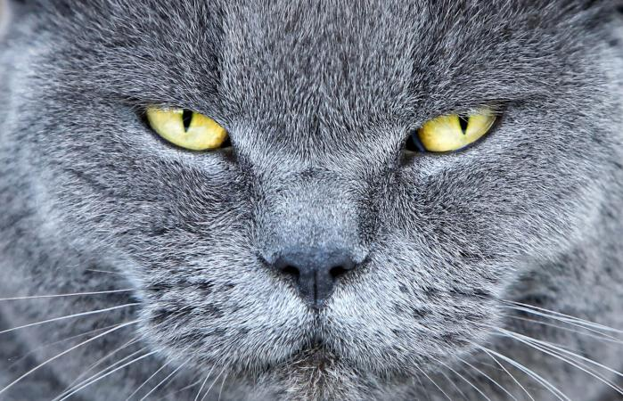 Gato azul británico con ojos amarillos
