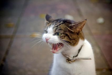 Gato macho molesto