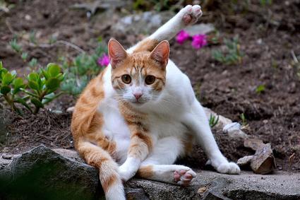 Gato aseándose a si mismo