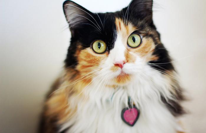 Gato calico de pelo largo