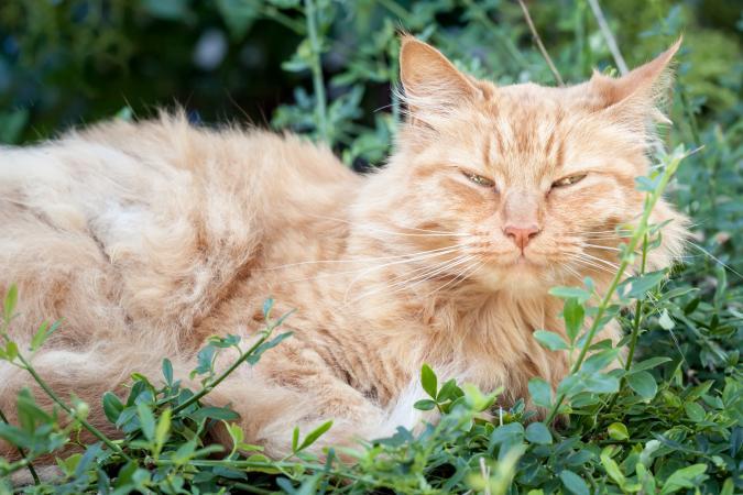 Viejo gato atigrado acostado en el jardín