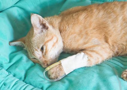 Gato con terapia de fluidos vía intravenosa