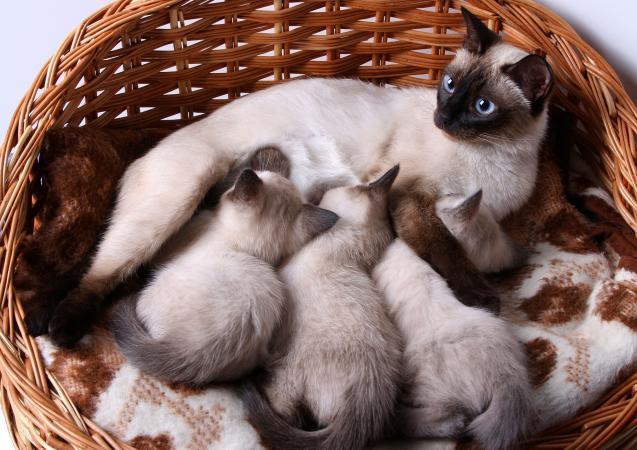 gato siamés con gatitos en canasta