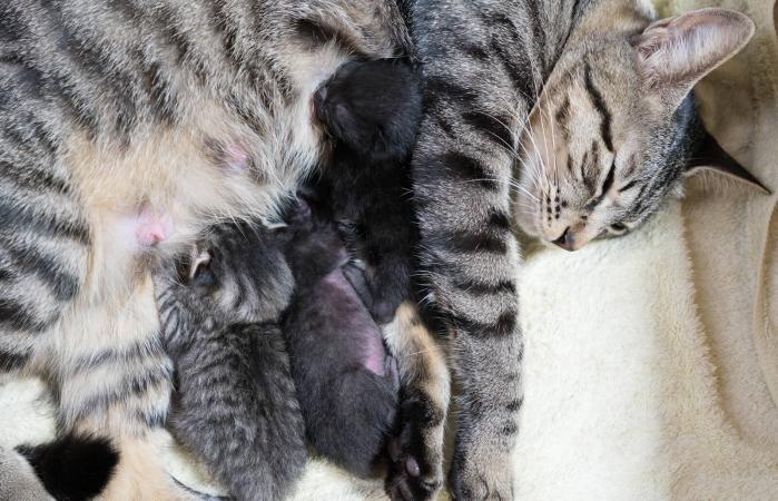 Gato amamantando a sus crias