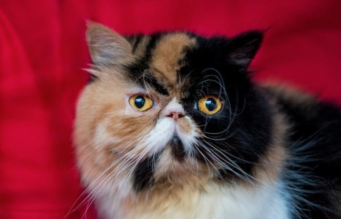 Gato calicó persa