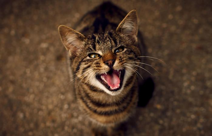 Gato maullando