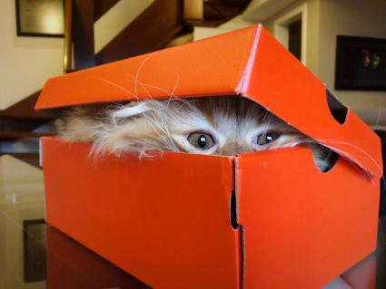 Cat hiding in a shoe box