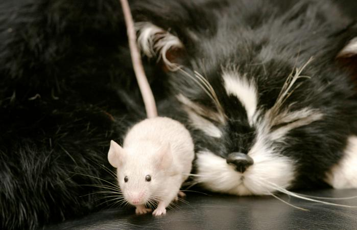 Gato atrapa a ratón