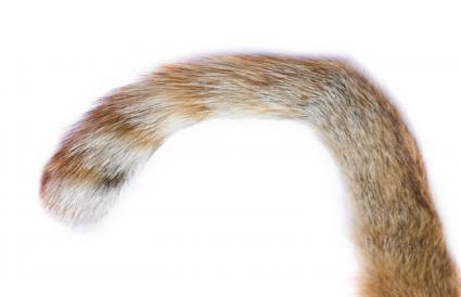 Cola de gato fracturada