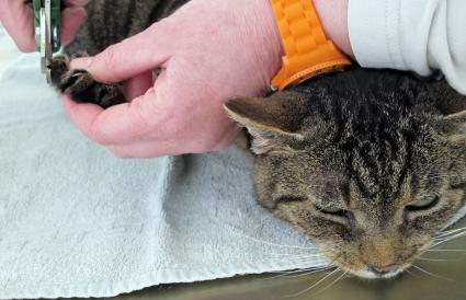 Veterinario cortando garras de gato