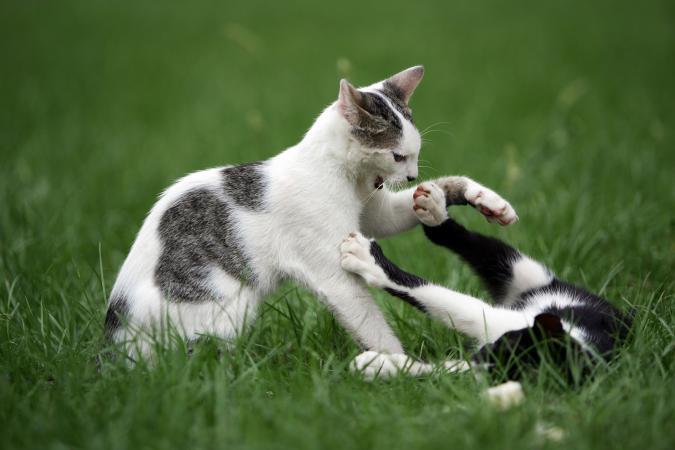 dos felinos luchando en la hierba