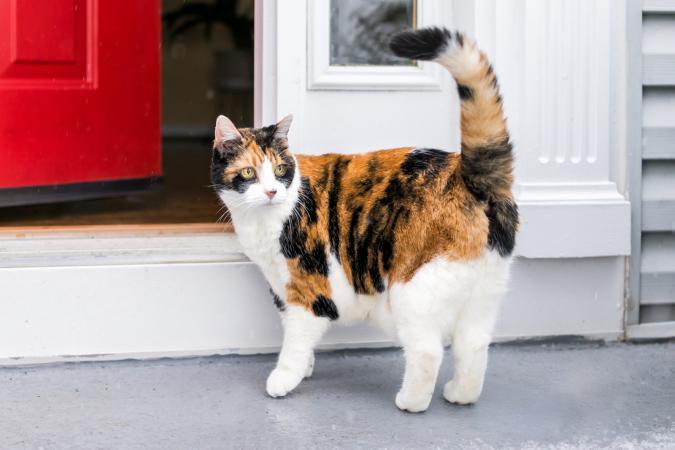 gato calico afuera