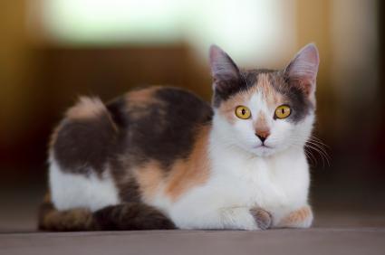 gato calico joven