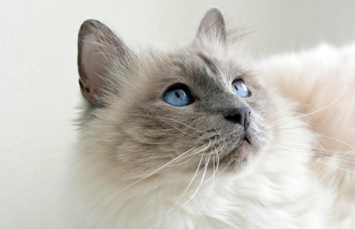 Gato siamés doméstico