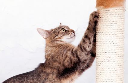 Gato doméstico afilando sus garras