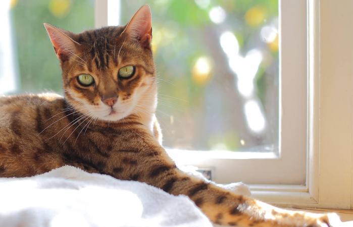 Gato Bengala a la luz del sol