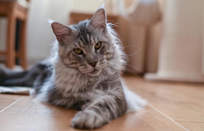 Gato de Maine Coon