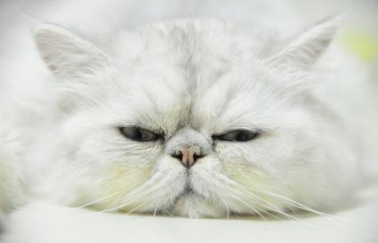 Gato chinchilla persa plateado