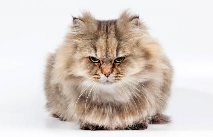 Gato chinchilla persa dorado