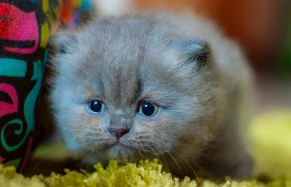 Gatito persa gris de cuatro semanas