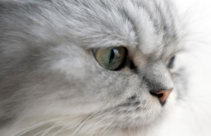 Primer plano del gato persa plateado