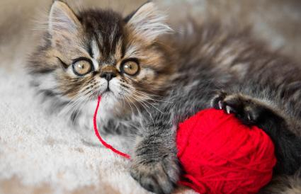 Tabby gatito persa